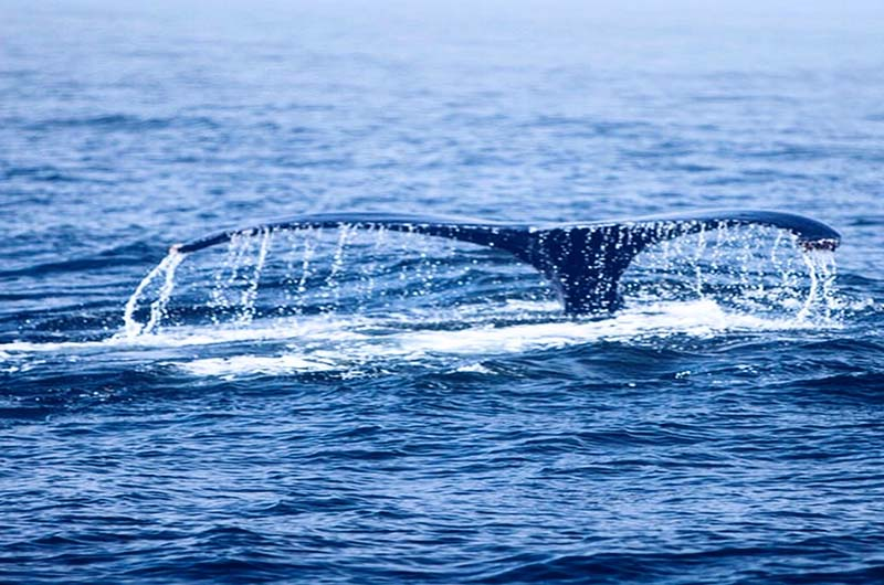 whale watching maui ritz carlton