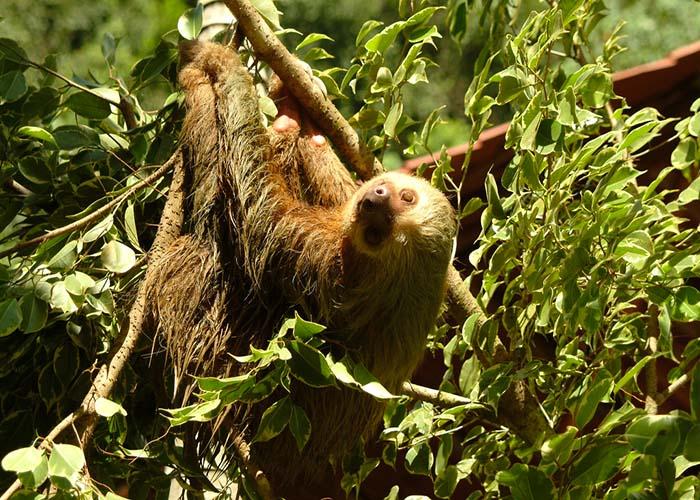 manuel antonio sloths.jpg