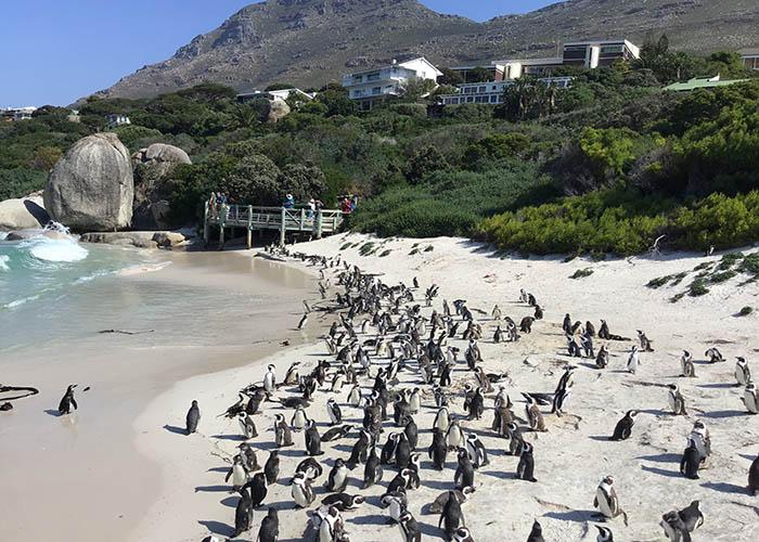 boulders beach penguins simons town.jpeg